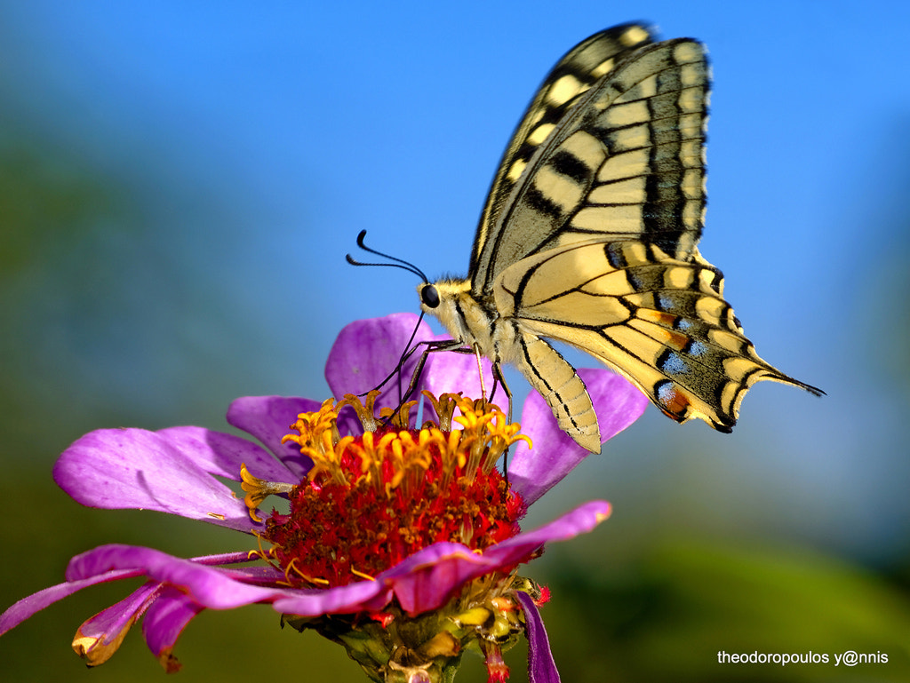 Photograph Papilio machaon by yiannis theodoropoulos on 500px