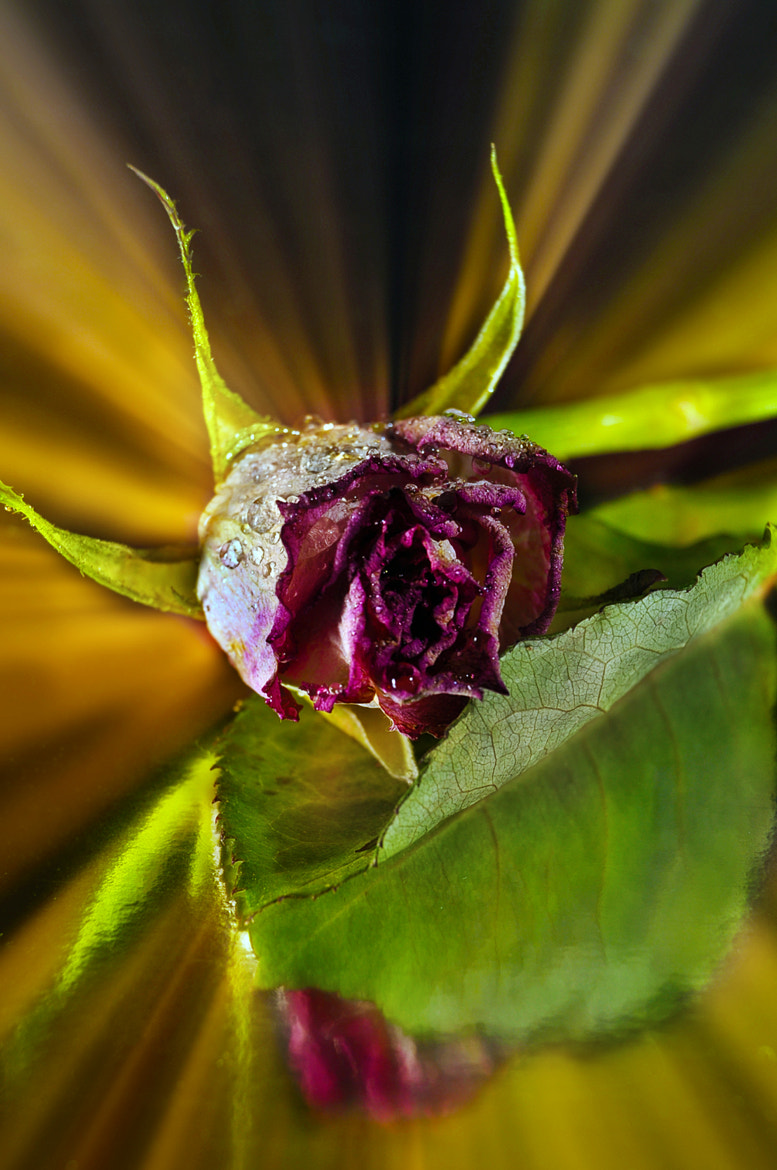 Photograph dream of the rose by Jozsef Balogh on 500px