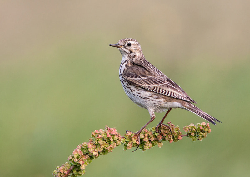Photograph Meadow Pipit  by Lea Roberts on 500px
