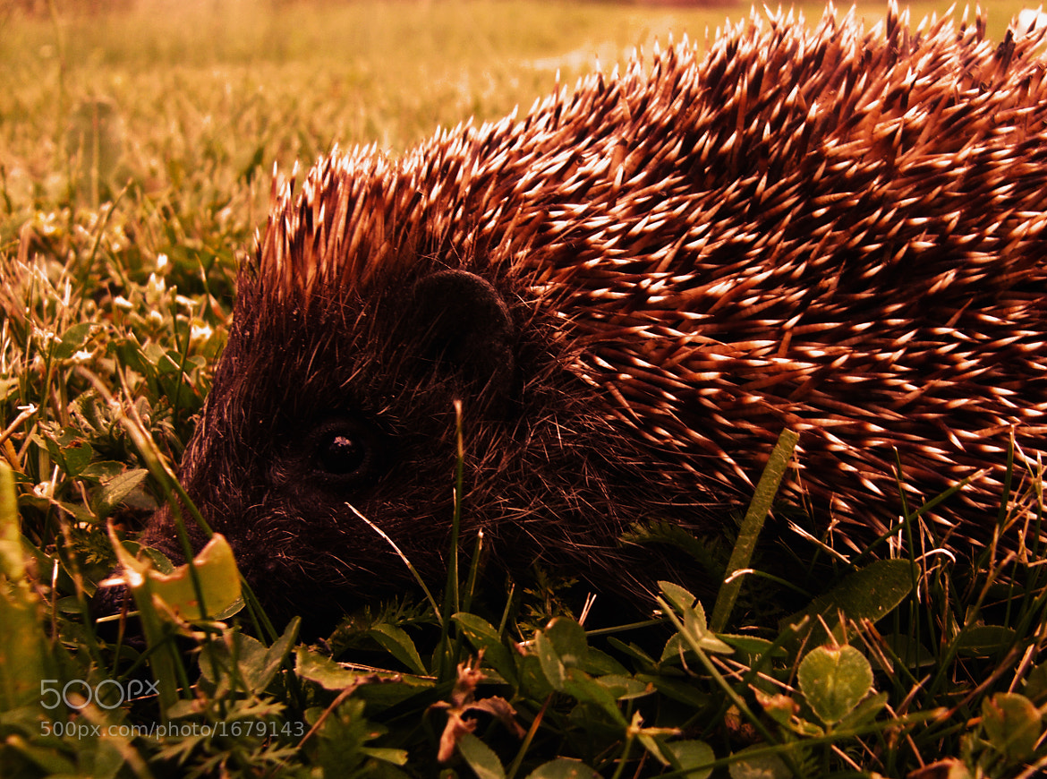 Photograph Hedgehog by Iva Mihalic on 500px