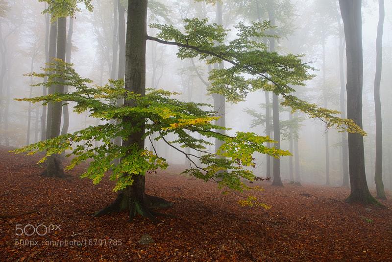 Photograph Beech Tree by Martin Rak on 500px