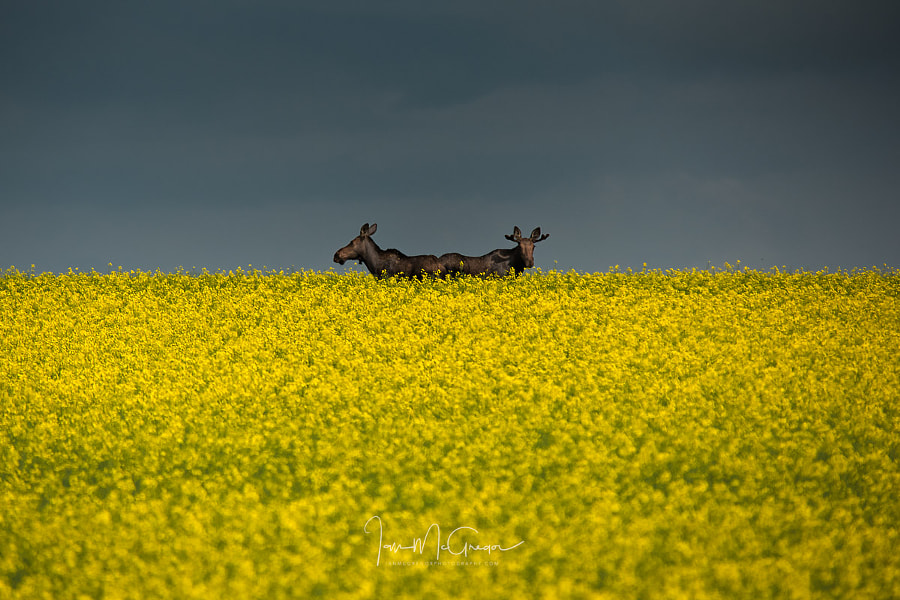 Two Moose by Ian McGregor on 500px.com