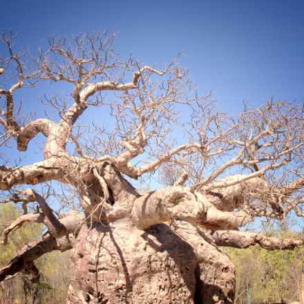 Boab Tree, Canon EOS 7D, Sigma 24-70mm f/2.8 IF EX DG HSM