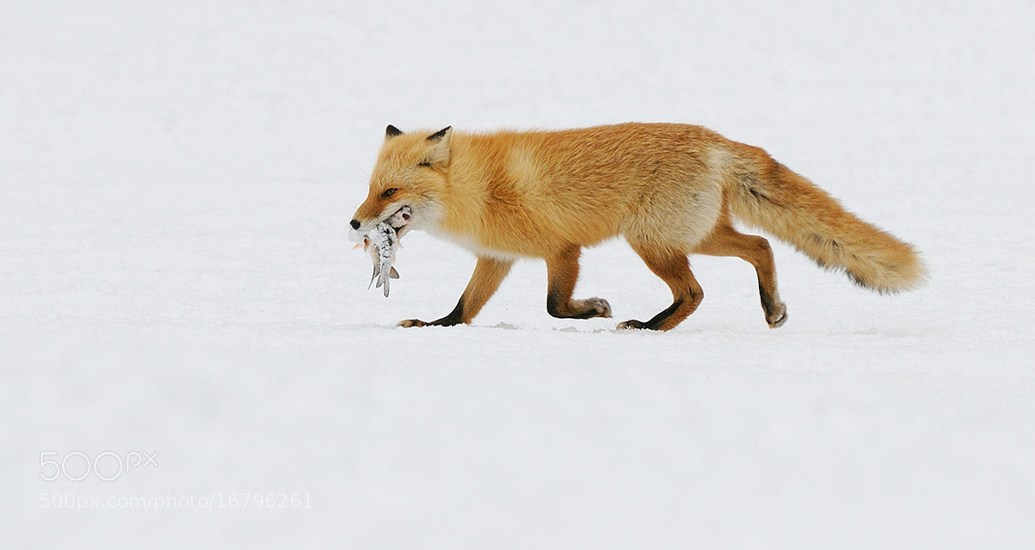 Photograph Fishy Fox by Harry  Eggens on 500px