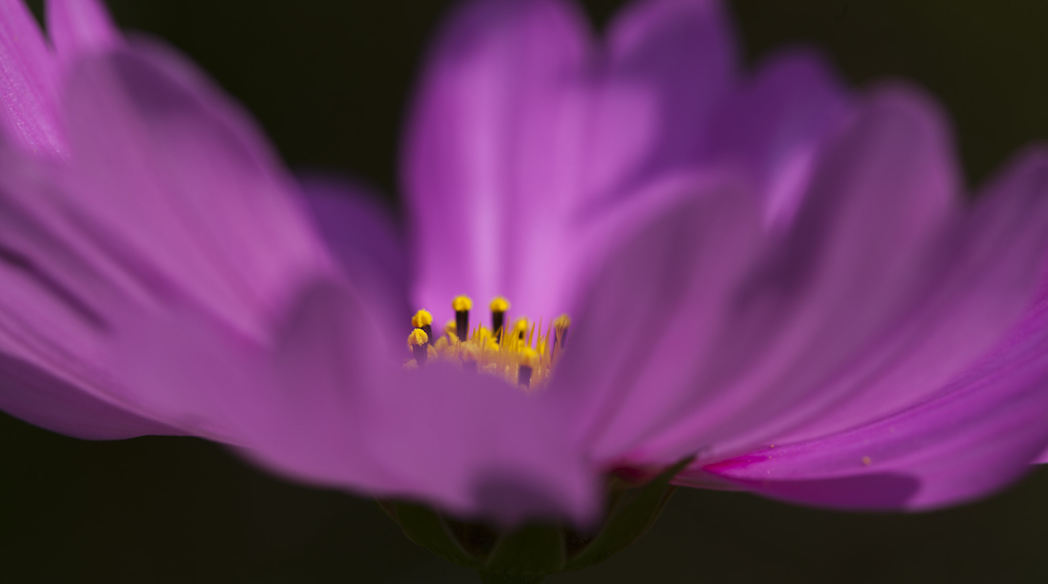 Photograph The beuty of cosmos  by Isti kaori on 500px