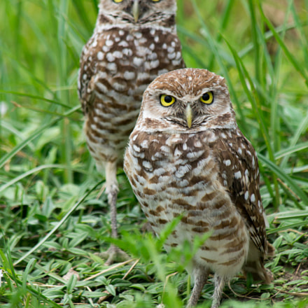 Burrowing Owls In Tall, Sony SLT-A57, Tamron SP AF 200-500mm F5.0-6.3 Di LD IF