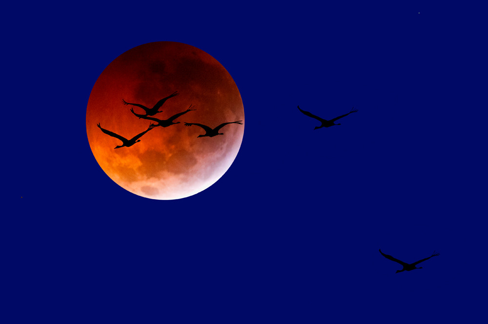 Photograph Whooping Cranes with an Almost Complete Lunar Eclipse by Scott Buckel on 500px