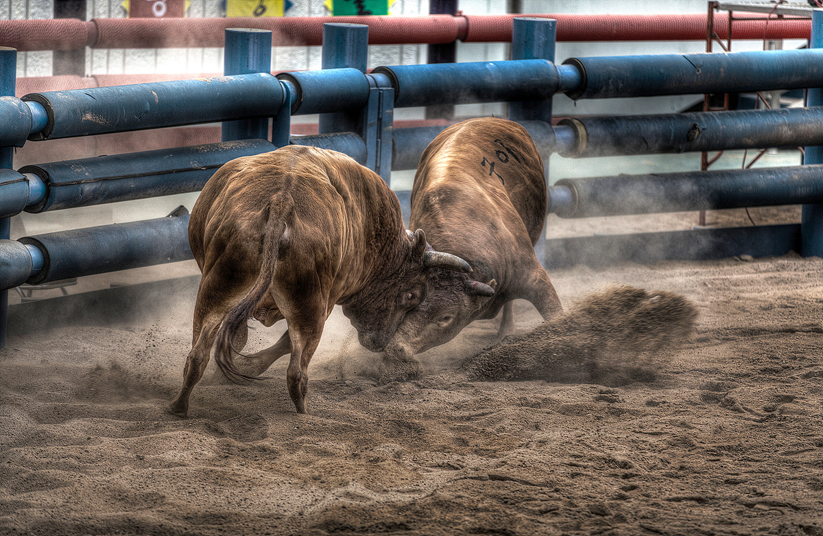 Photograph Korea Traditional Bullfighting by JIHOON HWANG on 500px