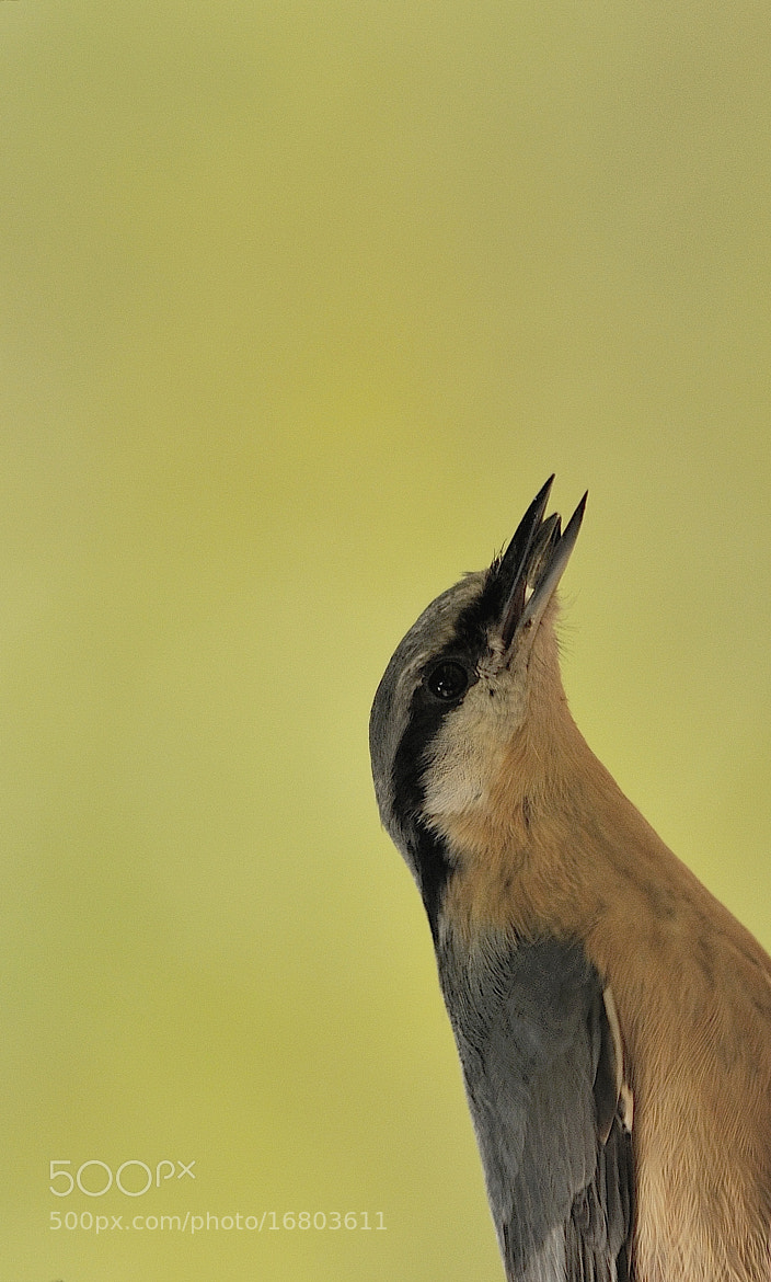 Photograph Nuthatch by B Timmer on 500px