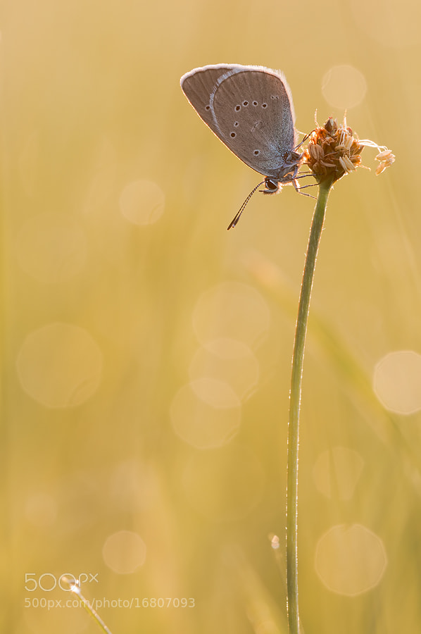 Photograph - Polyommatus semiargus - by Tobias Frömel on 500px