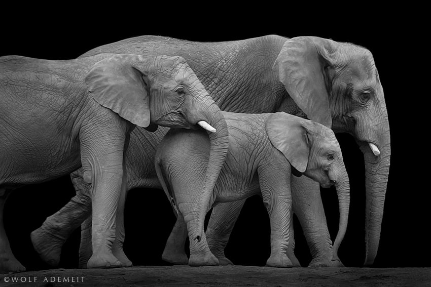 Photograph TREE ELEPHANTS by Wolf Ademeit on 500px