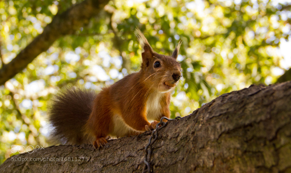 Photograph Red Squirrel by Bradley Foster on 500px