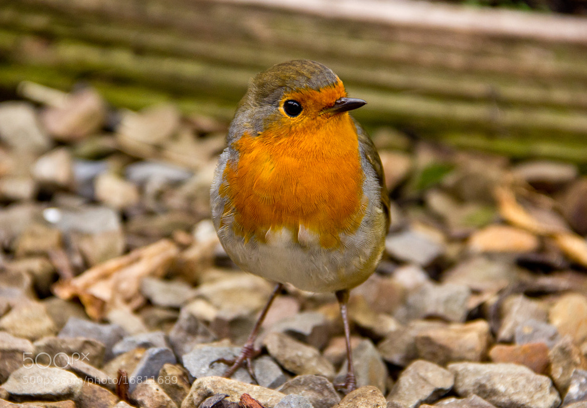 Photograph Robin by Bradley Foster on 500px