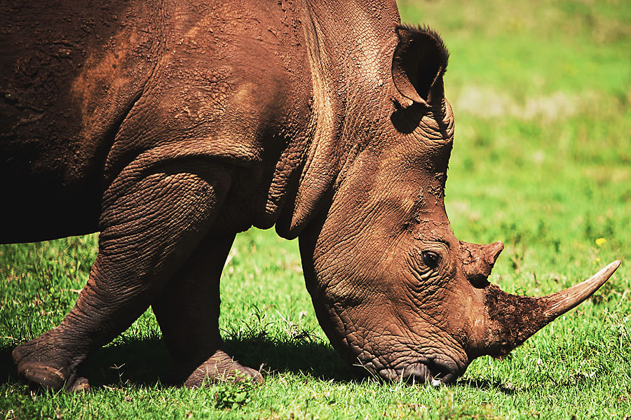 Photograph Rhino by Sean van Tonder on 500px
