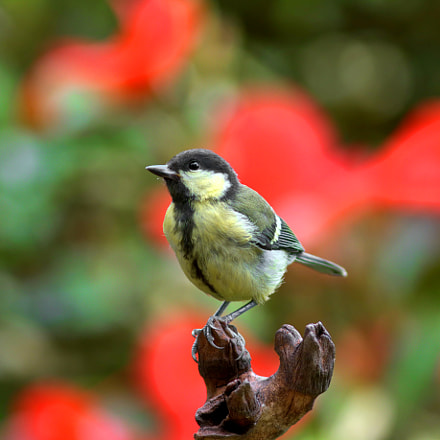 The Great tit, Canon EOS 7D MARK II, Canon EF 100-200mm f/4.5A