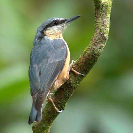 Nuthatch, Canon EOS 7D MARK II, Canon EF 100-200mm f/4.5A