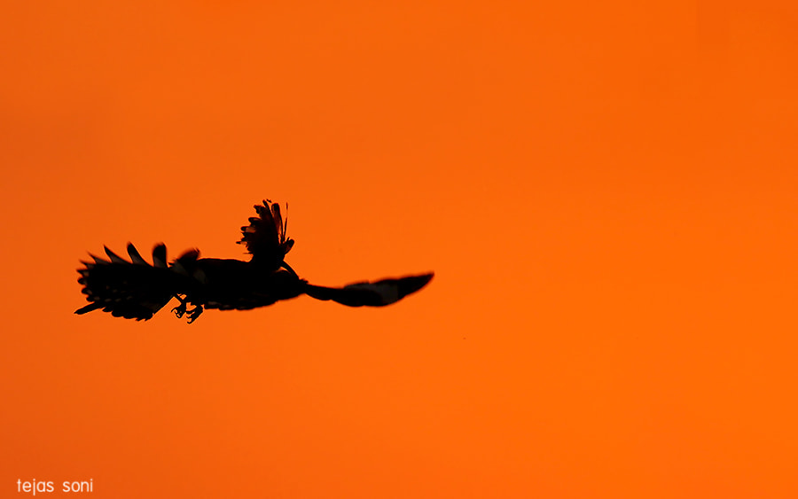 Photograph Common Hoopoe by Tejas Soni on 500px