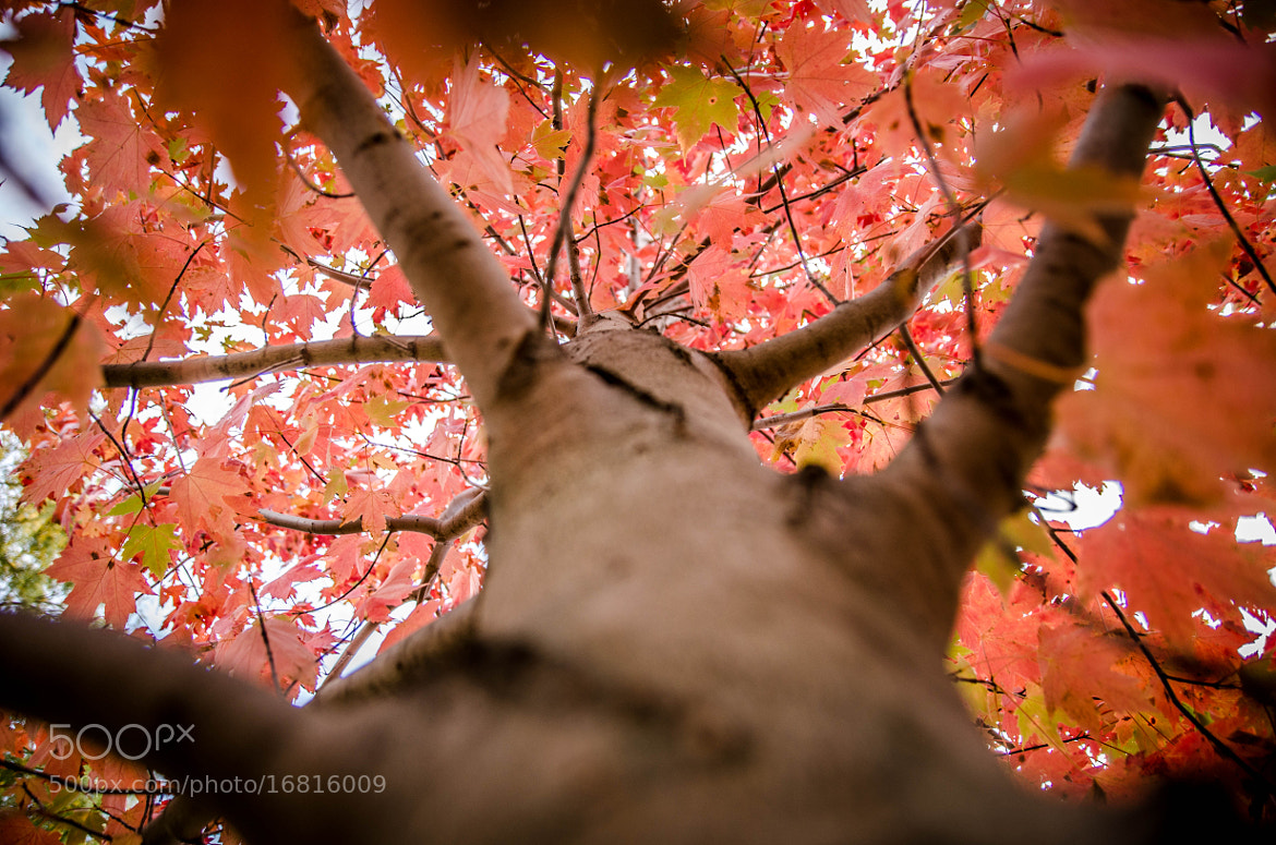 Photograph Red Maple by Harsh  Desai on 500px