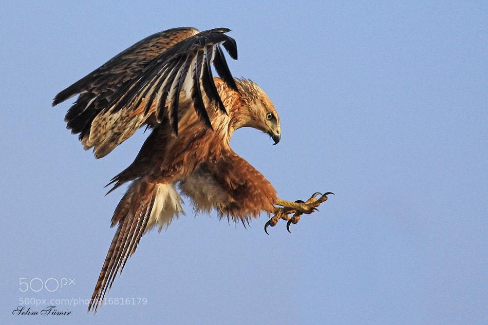 Photograph Kızıl şahin » Long-legged buzzard » Buteo rufinus by selim tümir on 500px