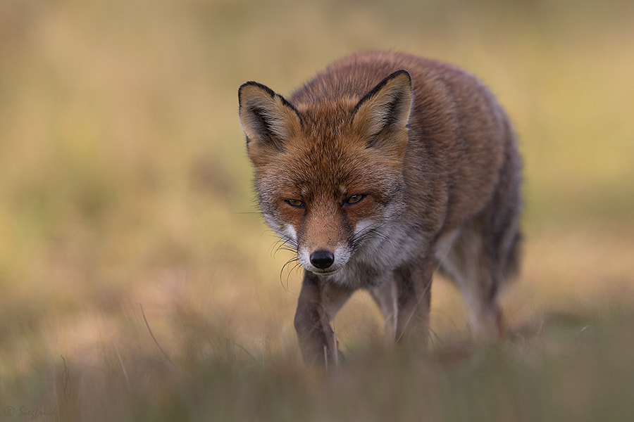 Photograph Red Fox - Part I by Siegfried Noët on 500px