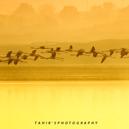 Greater flamingoes, Canon EOS 70D, EF400mm f/5.6L USM