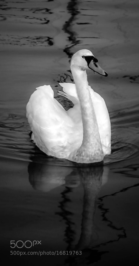Photograph Swan by julian john on 500px
