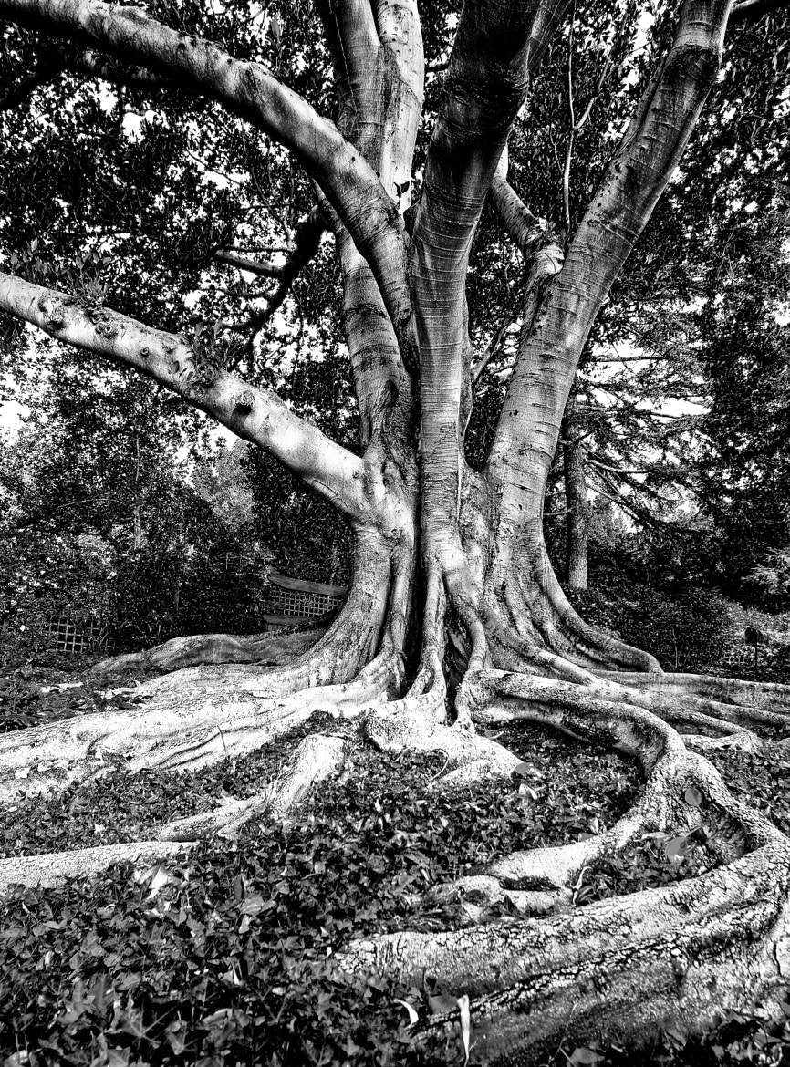 Photograph GrandFicus by Paul McConville on 500px
