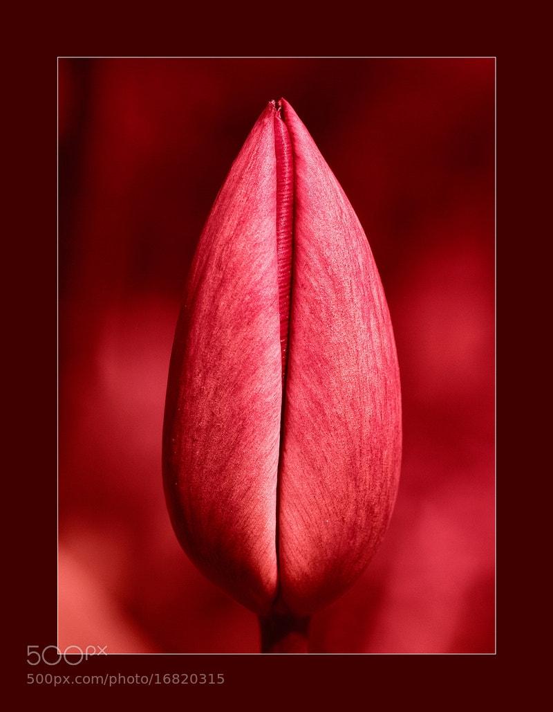 Photograph Tulip by Ödön Czintos on 500px