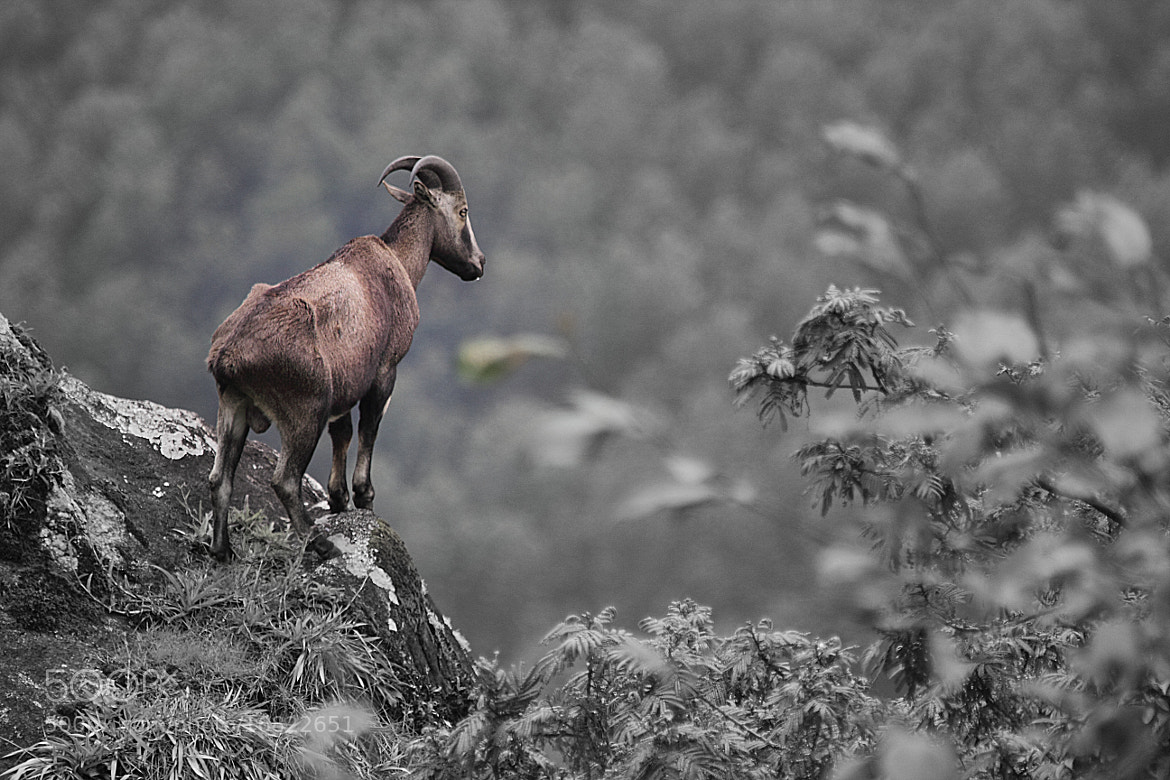 Photograph NILGIRI TAHR by Sabarish Nair on 500px