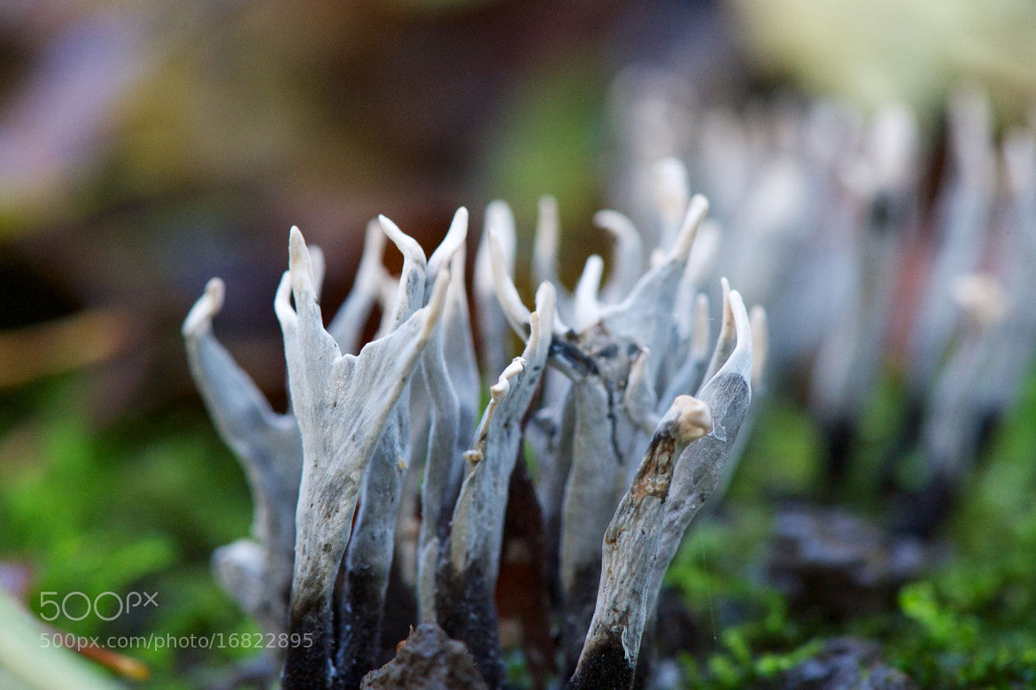 Photograph Xylaria hypoxylon (stags horn) by James Johnson on 500px