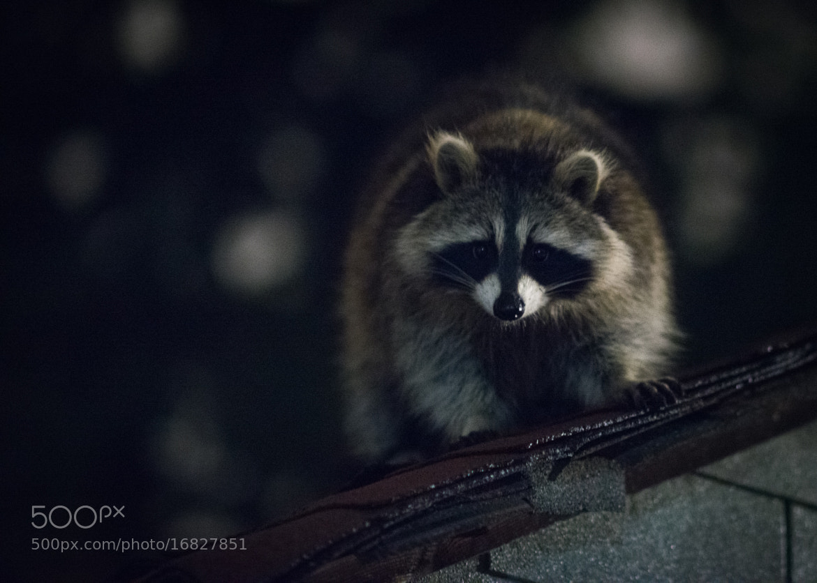 Photograph Night Bandit by T. Hicks on 500px