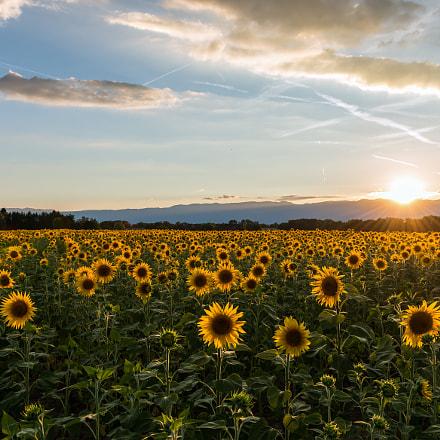 Sunflowers on the sunset