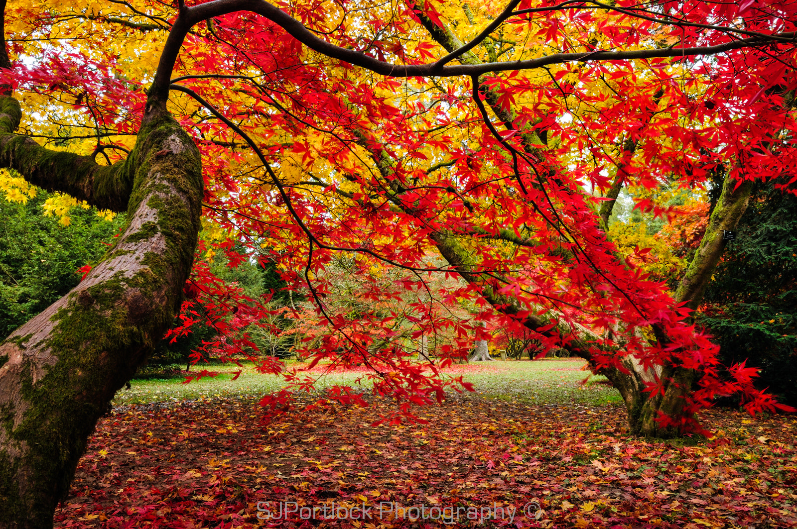 Photograph Acer of Westonbirt by Stephen Portlock on 500px
