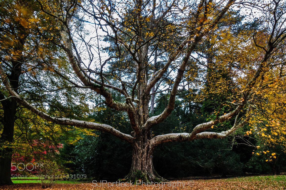 Photograph The Godfather of Westonbirt by Stephen Portlock on 500px