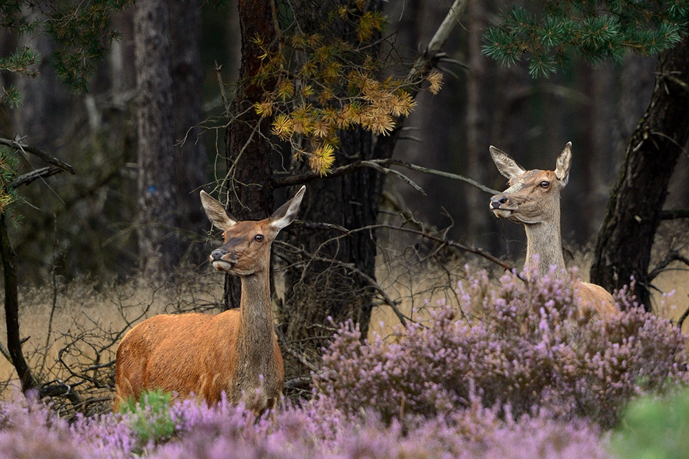 Photograph Hinds by Wolfgang von Vietinghoff on 500px