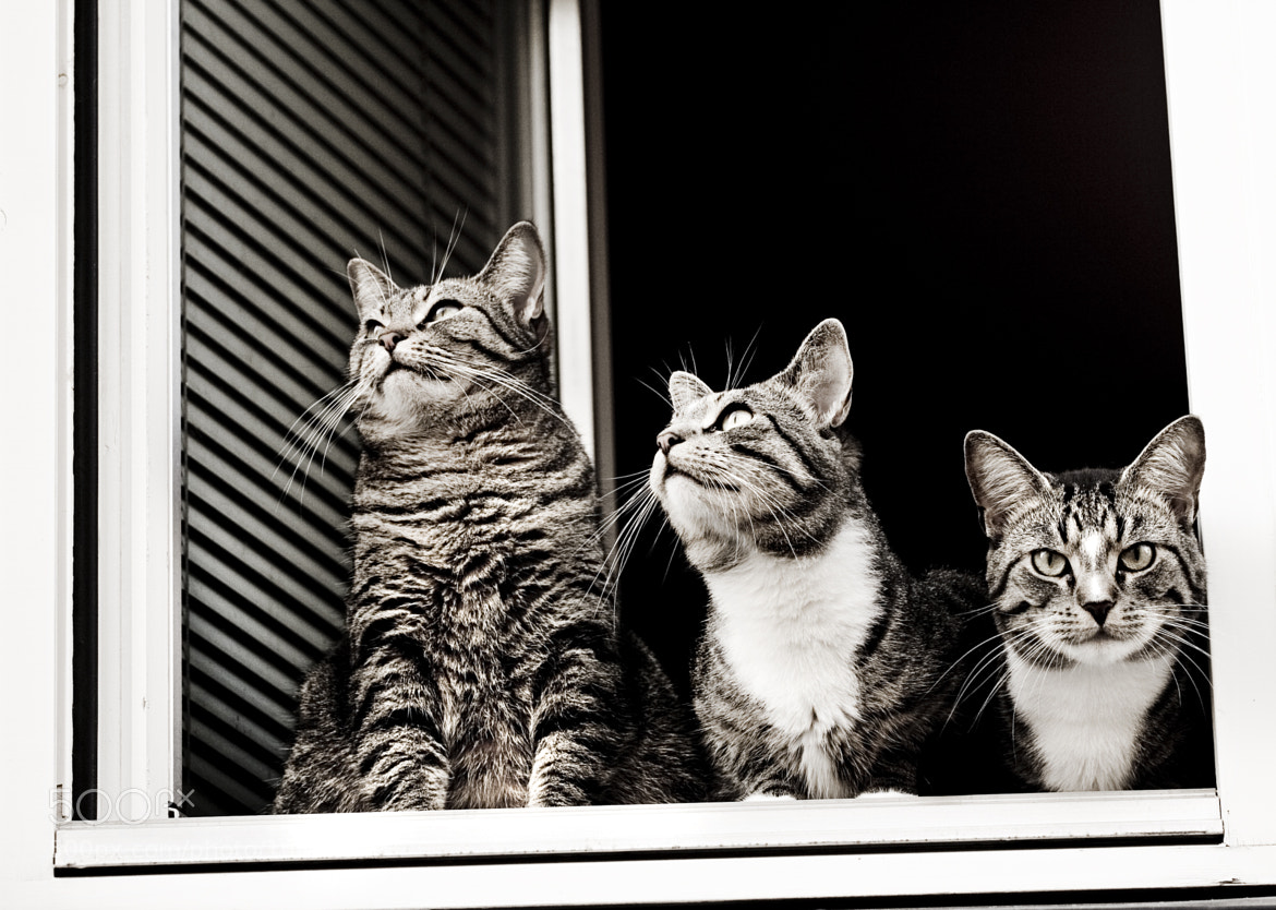 Photograph Cats in a window # 01 by Tarjei Krogh on 500px