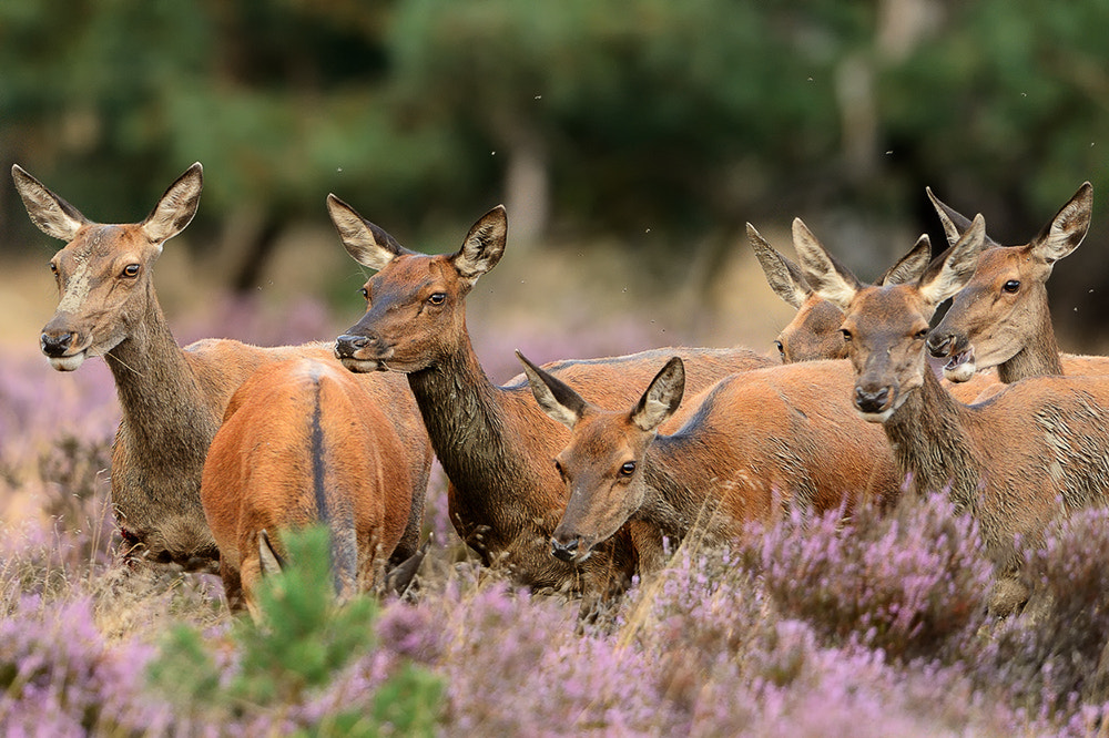 Photograph Hinds group by Wolfgang von Vietinghoff on 500px