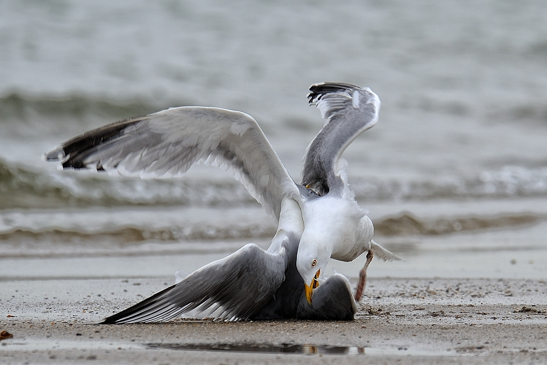 Photograph Fight on the beach by Bostjan P. on 500px