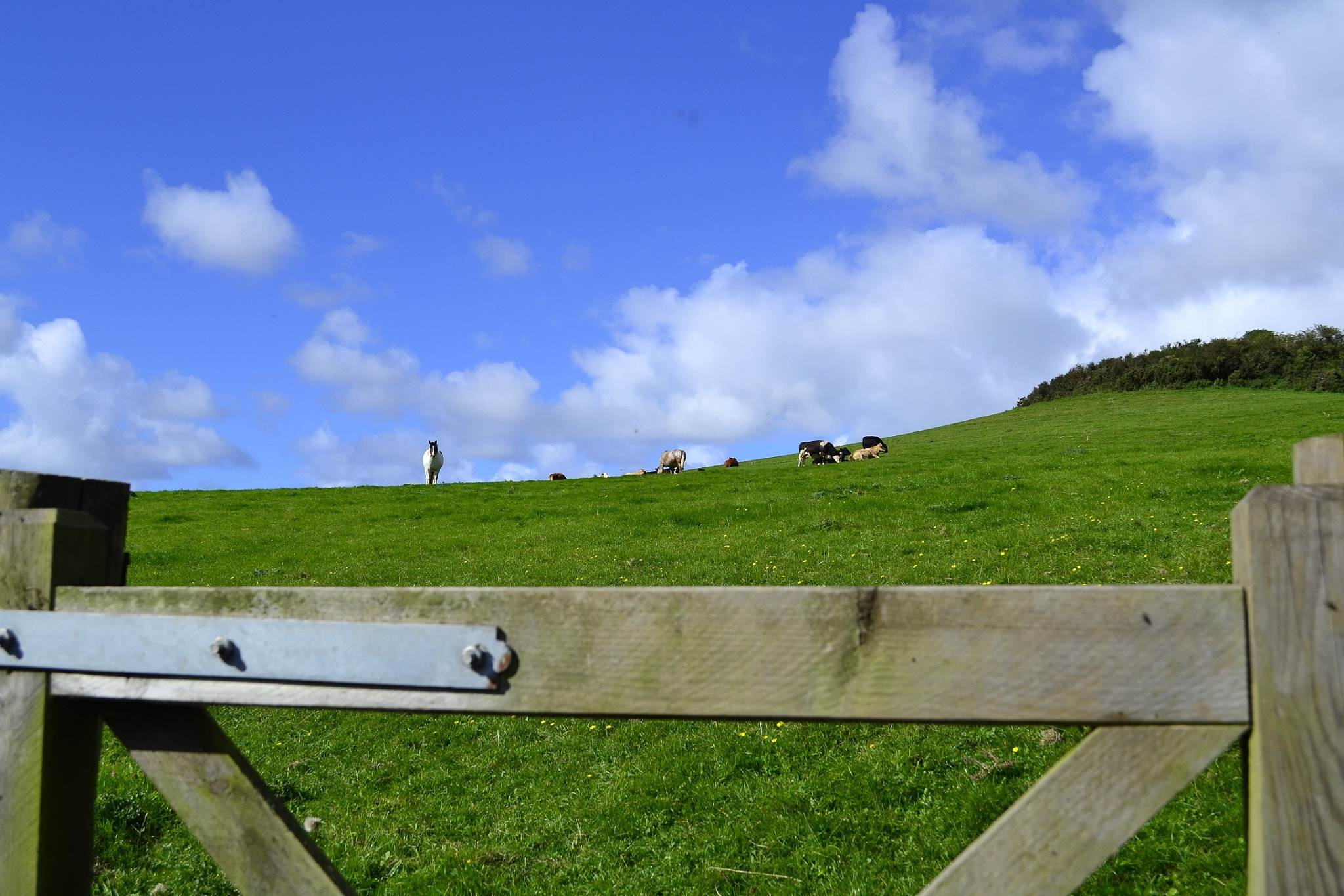 Photograph Cow & Gate (+Horse) by Christopher Dodd on 500px