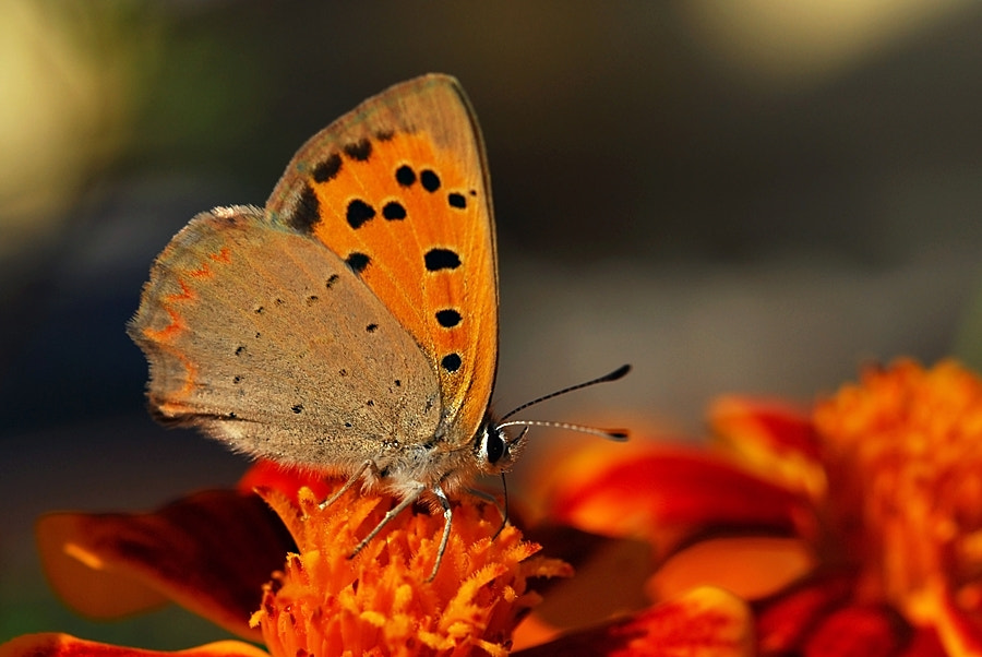 Photograph Lycaena phlaeas by ilker kursun on 500px