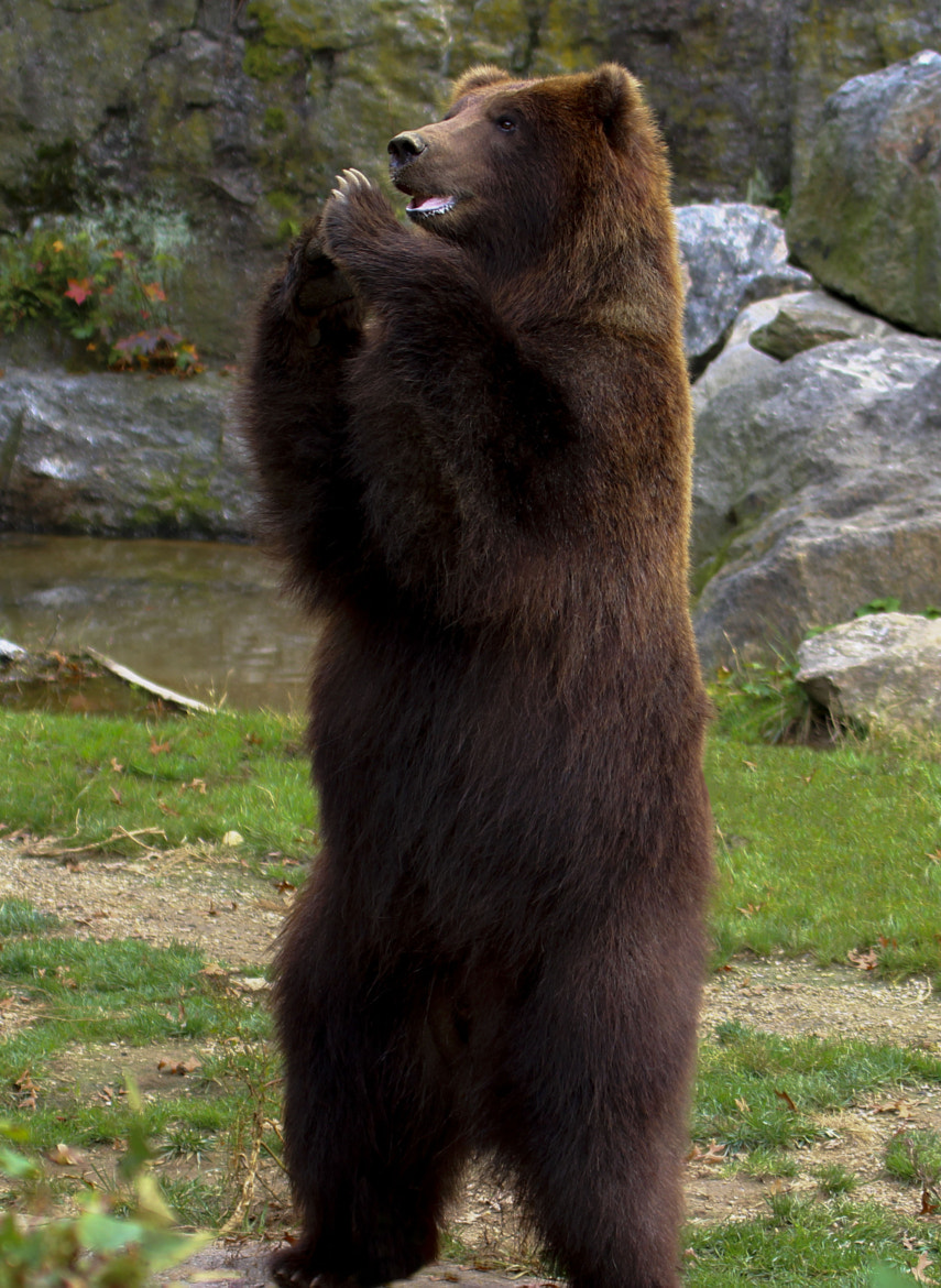 Photograph Grizzly Clapping by Georgina Gomez on 500px