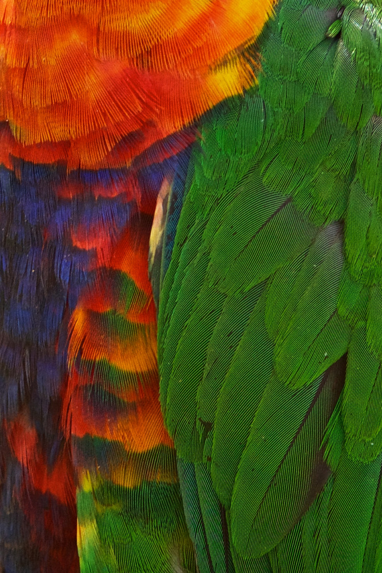 Photograph Rainbow Lorikeet Feathers by Aslak Kappel Hansen on 500px