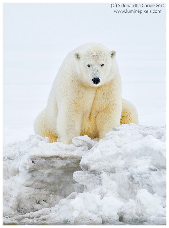 Photograph Ice Bears of Arctic - 3 by Siddhardha Garige on 500px