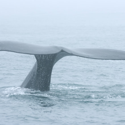 Whale watching one misty, Nikon D2HS, AF-S VR Zoom-Nikkor 70-200mm f/2.8G IF-ED
