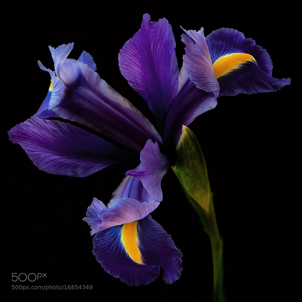 Photograph iris by Leila Raymond on 500px
