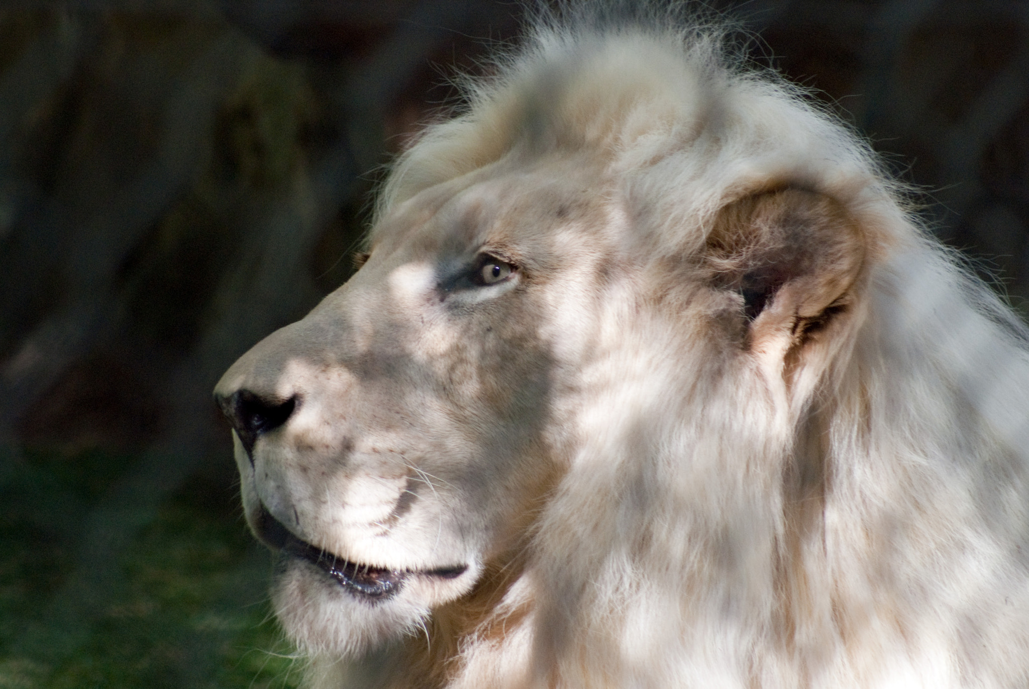Photograph White Lion by David Pope on 500px