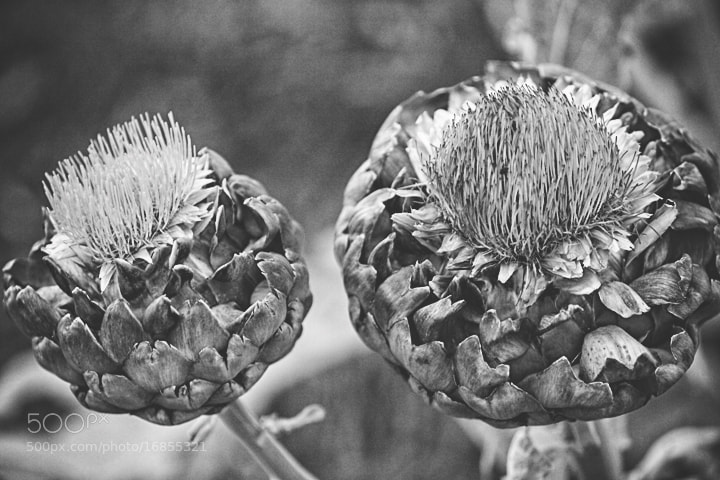 Photograph Artichokes b&w by Joseph Molina on 500px