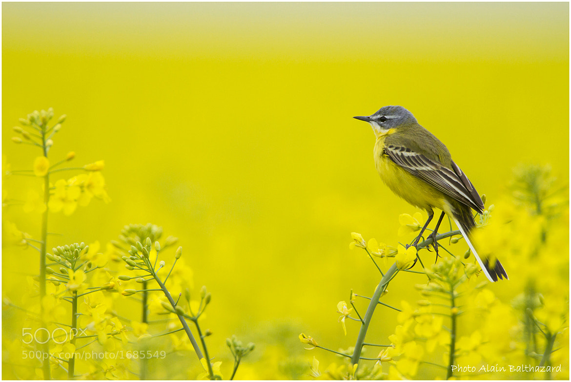 Photograph Yellow and yellow. by Alain Balthazard on 500px