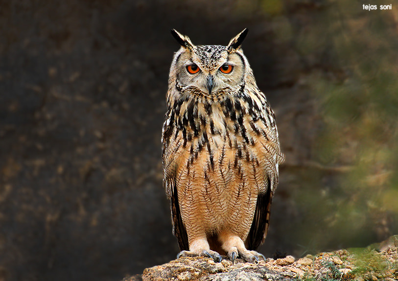 Photograph Indian Great Horned owl by Tejas Soni on 500px