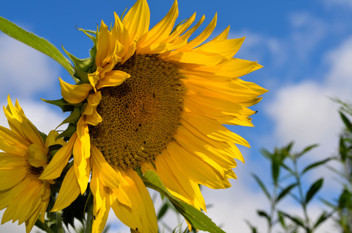 Photograph Sunflower by Morgan Stoltz on 500px